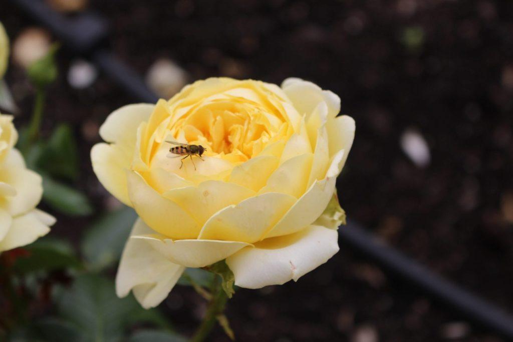 gul rose Vea